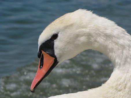 Swan, Head, Drip, Pride, Nature Recording, Mute Swan
