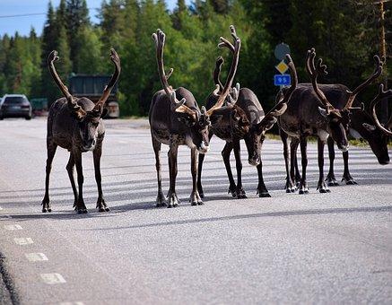 Reindeer, Lapland, Sweden, Arjeplog, Antler