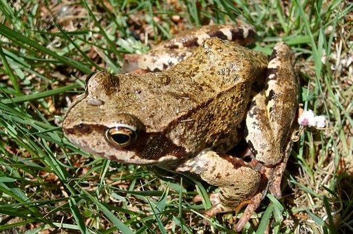 The Frog, Amphibian, Nature, Animals