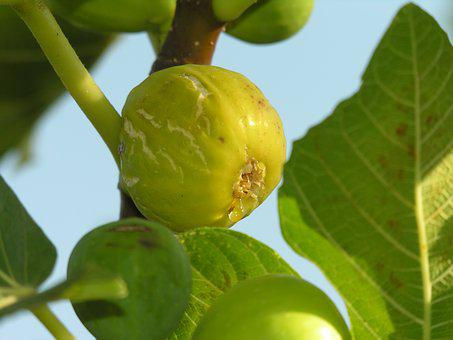 Fig, Fruit, Tree, Eat, Mediterranean, Plant, Seasons