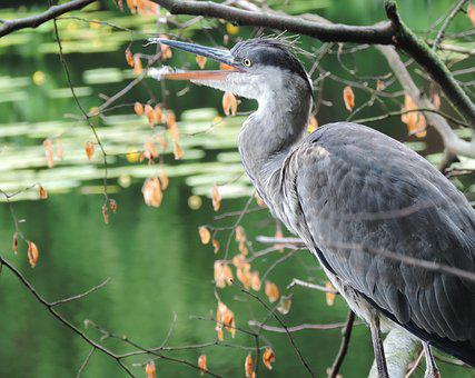 Heron, Bird, Animal, Grey Heron, Animal World, Berlin