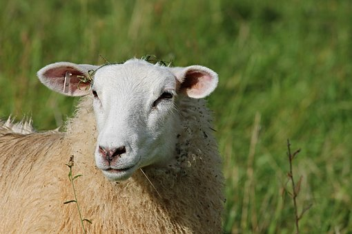 Sheep, Portrait, Sheepshead, Sheep Face, Wool, Animal