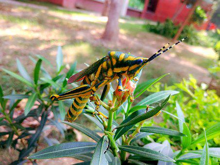 Grasshopper, Bug, Insect, Arthropoda, Grass, Plant