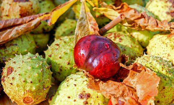 Chestnut, Buckeye, Common Rosskastanie