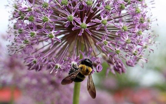 Decorative Garlic, Head, Insect, Bee, Nature