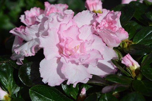 Flower, Pink Flower, Color Pink, Garden, Nature