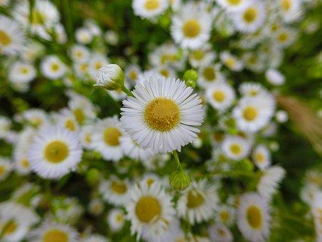Chamomile, Flower, False Chamomile, Scentless Chamomile