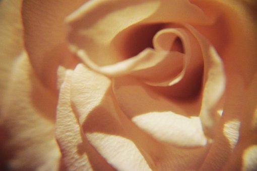 Pink Rose, Rose Petals, Soft, Gentle, Flowers