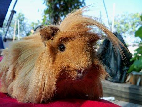 Guinea Pig, Pet