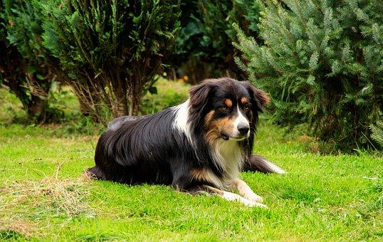 Dog, Herding Dog, Aussi, Shepherd, Australia Shephert