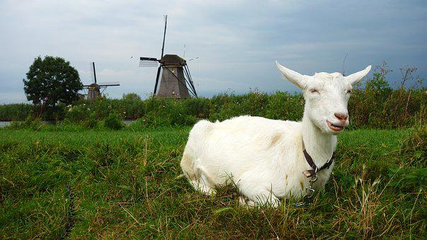 Goat, Mill, Wind Mill, Landscape, Grass, Kinderdijk
