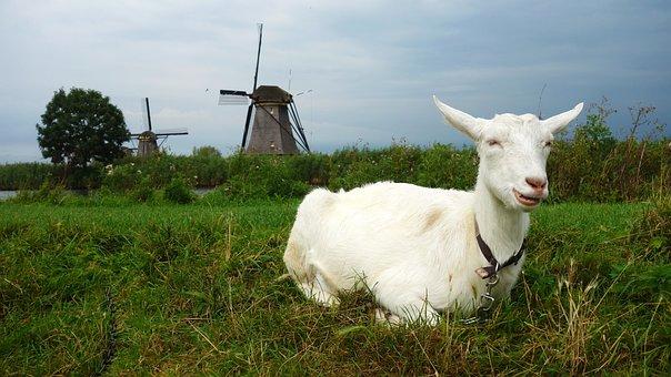 Goat, Mill, Wind Mill, Landscape, Grass, Kinderdijk