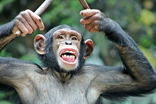 Monkey, Fun, Funny, Cool, Zoo, Face, Drums, Music