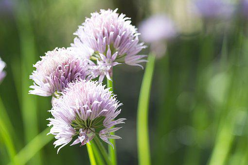 Flower, Pink, Purple, Flowers, Lilac, Nature