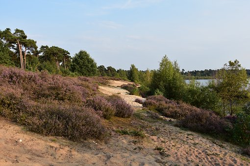 Maasduinen, Nature Reserve, Heathland, Netherlands