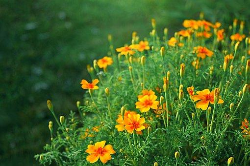Orange, Yellow, Flowers, Garden Flowers, Meadow, Nature