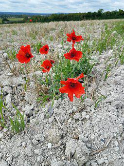 Poppy, Poppies, Sky, Nature, Red, Flower, Plant, Petal