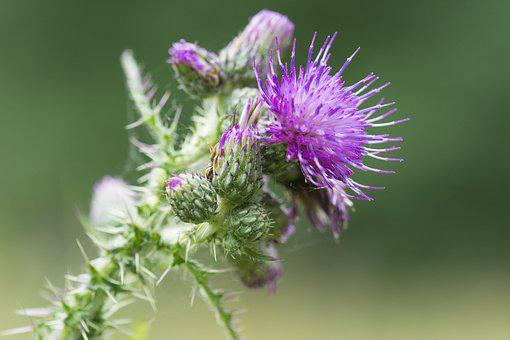 Thistle, Purple, Flower, Nature, Spines, Purple Flower