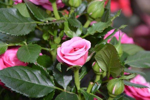 Pink Flower, Pink, Offer, Events, Rose Bud