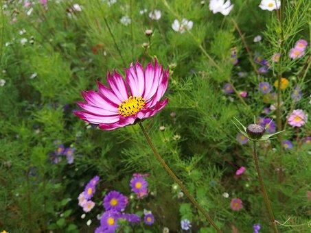 Flower, Sea Of Flowers, Cosmos, Autumn English, Campus