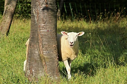 Sheep, Tree, Landscape, Nature, Meadow, Grass, Pasture