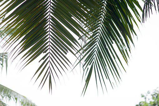Palm Trees, Coconut Tree, Palm Leaf, Tropical Trees