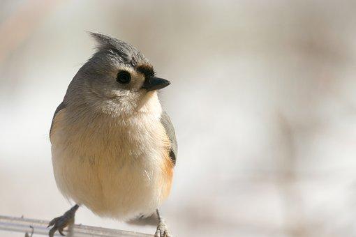 Tufted, Titmouse, Bird, Nature, Animal, Wildlife