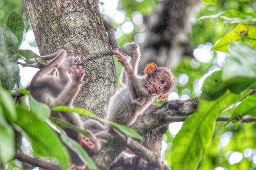 Monkey, Kerala, Wayanad, Monkeys