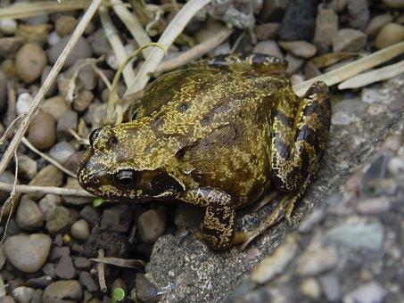 Frog, Amphibian, Anura, Wildlife, Nature, Wild, Jump