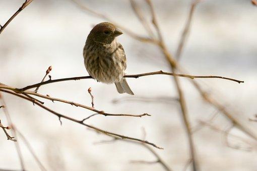 Bird, House Finch, Nature, Avian, Wild, Songbird