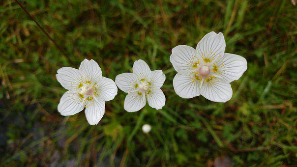 Flower, Wildflower, Grass Of Parnassus