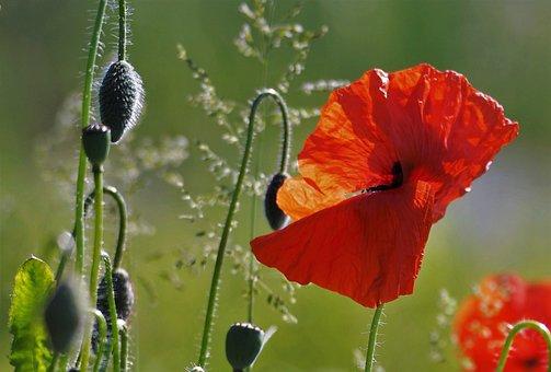 Poppy, Red Flower, Nature, Field Flowers, World War