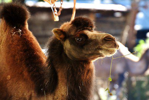 Camel, Zoo, Animal, Nature, Mammal, Hump, Head