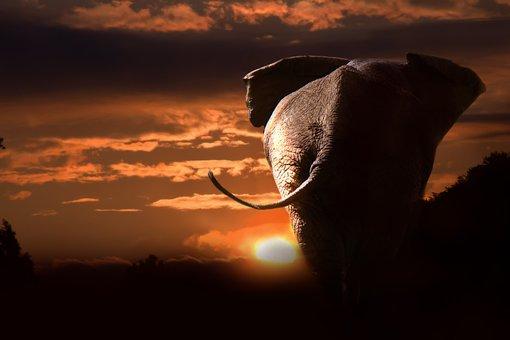 Elephant, African, African Bush Elephant, Animals