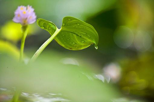 Flower, Pond, Water Lily, Aquatic Plant, Nature