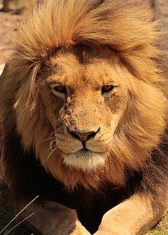 Lion, Africa, Eyes, Safari, Nature, Cat, Wildlife