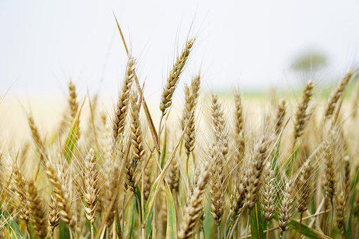 Wheat, Wheat Field, Cornfield, Summer, Cereals, Spike