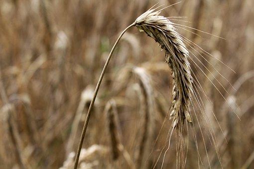 Barley, Cereals, Barley Field, Spike, Field, Cornfield