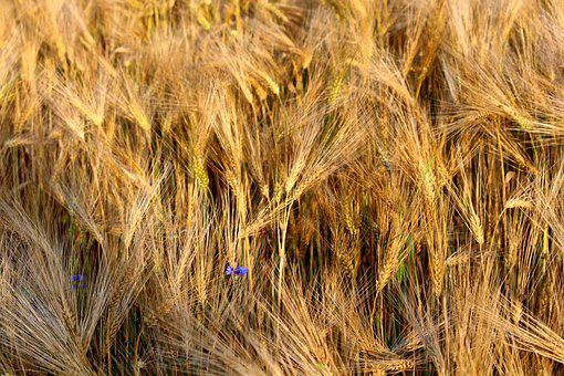 Rye, Cereals, Nature, Grain, Ear, Field, Plant