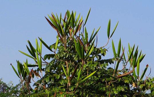 African Tulip, Seed Pod, Hubli, India, Tree, Organic