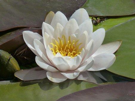 Water Lily, Nymphaea, Closeup, Plant, Lake Rose, Pond