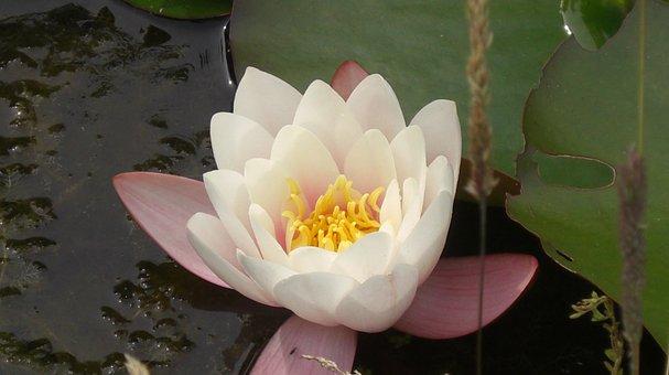 Waterlily, Pond, Nymphaea Alba, Aquatic, Lotus, Petals