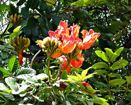 African Tulip, Fountain Tree, Rudrapalash