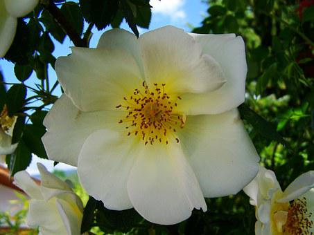 Tea Rose, White Roses, Rose Bush, Spring