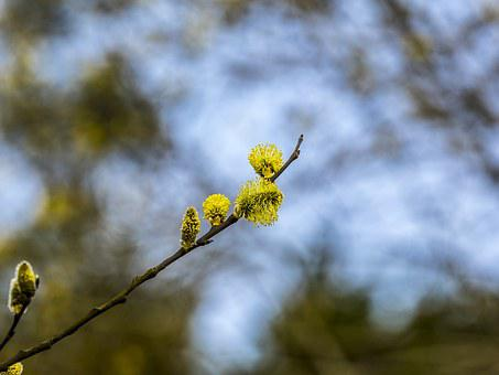 Pussy Willow, Spring, Tree, Nature, Branch, Blossom