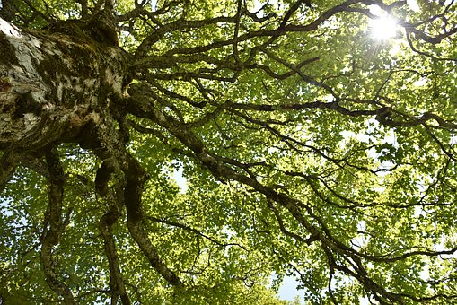 Acer Pseudoplatanus, Mountain Maple, Maple, Tree