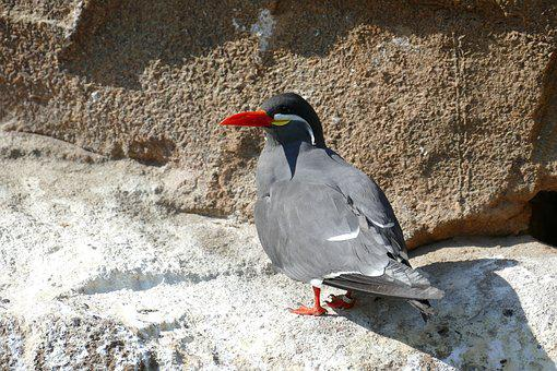 Tern, Inca Tern, South America, Zoo, Animal, Bird