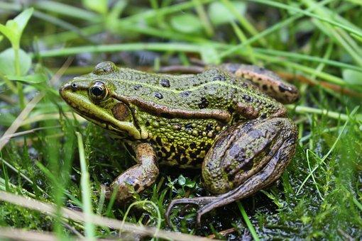 Frog, Animal, Grass