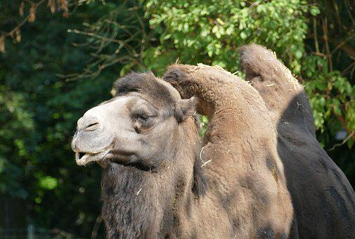 Camel, Hump, Head, Zoo, Animal