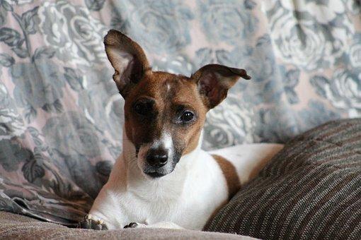 Dog, Room, House, Pet, Face, Cute, Jackrrusell, Terrier